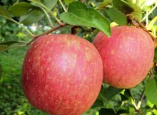 fuji apple nutrition